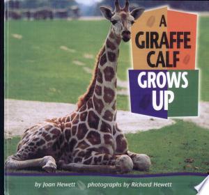 A Giraffe Calf Grows Up