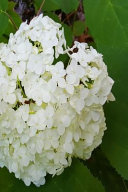 Floral Journal Summer Hydrangea