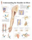 Understanding Shoulder   Elbow