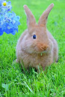 New Zealand Red Rabbit Journal