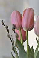 Blush Pink Tulips and Pussy Willows Spring Flowers Journal Writing Pleasure Reach For It To Record