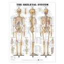 The Skeletal System 3D Raised Relief Chart