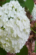 White Hydrangea Journal