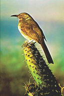 Curve Billed Thrasher Bird On Cactus