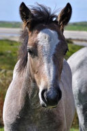 The Connemara Pony Journal