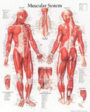 Muscular System  Male  Paper Chart
