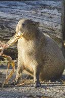 Feeding Time for the Capybara Journal