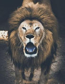 Lion Notebook Large Size 8. 5 X 11 Ruled 150 Pages