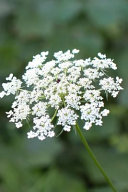 Exquisite White Queen Anne's Lace Flowering Plant Journal