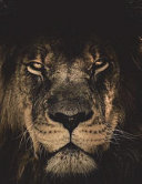 African Lion Notebook Large Size 8. 5 X 11 Ruled 150 Pages Softcover