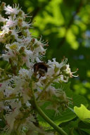 Chestnut Tree Blooming in Spring Journal