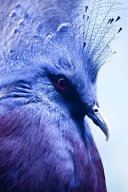 Bright Blue Crowned Pigeon Journal