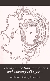 A Study of the Transformations and Anatomy of Lagoa Crispata, a Bombycine Moth