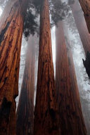 Redwood Field Notes