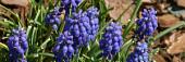 Hatch's Perennials: Crinum, Eucomis, Lycoris, Muscari, and other bulbs
