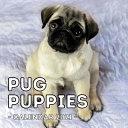 Pug Puppies Calendar 2021