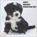 Bernese Mountain Dog Puppy 2022 Calendar