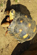 Plodding Yellow Footed Tortoise, for the Love of Animals