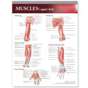 Lippincott Williams and Wilkins Atlas of Anatomy Musculature Chart  Upper Limb