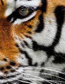 Tiger Tigers Big Cat Cats Lion Lions Jaguar Liger Lynx Cheetah Panther Feline
