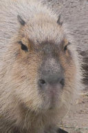 Say Hello to the Capybara Journal