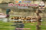 Life of Mallard Ducks