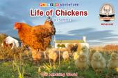 Life of Chickens
