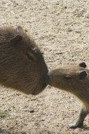 Kissing Capybara Journal