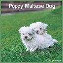 Maltese Dog Puppy 2022 Calendar