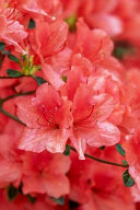 Rhododendron Red Azalea Flowers Blooming in the Garden Journal