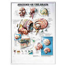 Anatomy of the Brain 3D Raised Relief Chart