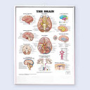The Brain 3D Raised Relief Chart