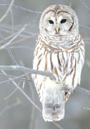 Snow Owl Holiday Half Notecards