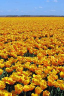 A Beautiful Field of Yellow Tulips in Holland, for the Love of Flowers