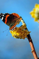 Red Admiral Butterfly Vanessa Atalanta on a Yellow Flower Journal