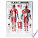The Muscular System 3D Raised Relief Chart