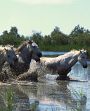 Horse Photo School Composition Book Equine Horses Crossing Water