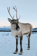 Reindeer in Winter Journal