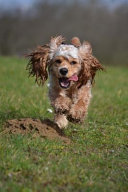 Happy Spaniel Out for a Run Dog Journal
