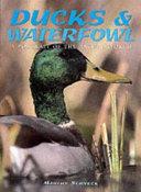 Ducks   Waterfowl