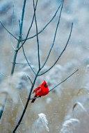 Redbird in Winter Journal