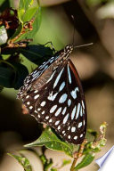 Tiger Blue Butterfly, for the Love of Nature