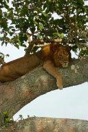 Lion In A Tree In Uganda Africa Journal
