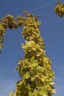 Hops for Beer  for the Love of Nature