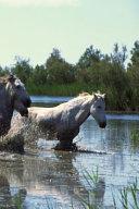 Journal Horses Crossing Water Equine